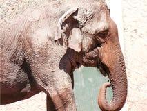 Großer afrikanischer Elefant am Zoo lizenzfreie stockfotos
