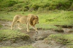 Großer afrikanischer Löwe, der durch Serengeti-Ebenen geht lizenzfreies stockbild
