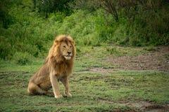 Großer afrikanischer männlicher Löwe, der in der Wiese von Afrika sitzt stockfoto