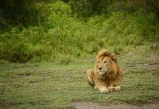 Großer afrikanischer männlicher Löwe, der in Wiese von Afrika legt stockbild