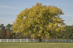Großer Ahornholzbaum Stockbild