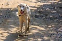 Großer alabai Hund Lizenzfreies Stockfoto