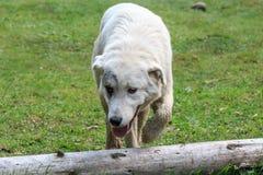 Großer alabai Hund Stockfoto