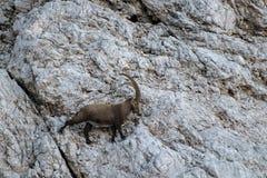 Großer alpiner Steinbock auf der Wand stockfotos
