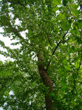 Großer alter Apfelbaum Stockfoto