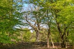 Großer alter Baum Stockbilder