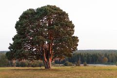 Großer alter Baum in einer Feldlandstraße Lizenzfreies Stockfoto