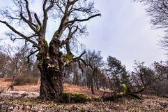 Großer alter Baum im Herbst Lizenzfreie Stockfotografie