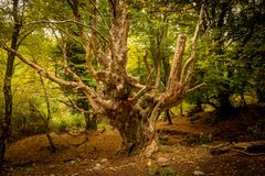 Großer alter Baum im Wald stockbild