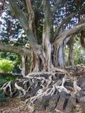 Großer alter Baum mit den Wurzeln, die über Felsen, große Insel, Hawaii wachsen stockbild