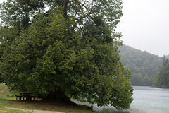 Großer alter breit-gekrönter grüner Baum Stockfoto
