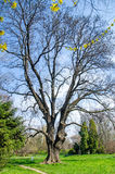 Großer alter Buchenbaum Stockfotos