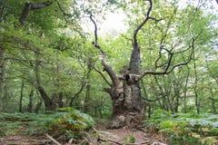 Großer alter Eichenbaum Lizenzfreies Stockbild