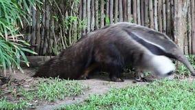 Großer Ameisenbär im Zoo stock footage