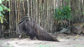 Großer Ameisenbär im Zoo stock video