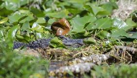 Großer amerikanischer aalender Alligator, Okefenokee-Sumpf-Staatsangehörig-Schutzgebiet Lizenzfreie Stockfotos