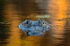 Großer amerikanischer Alligator im Wasser Stockfotos