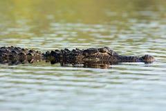 Großer amerikanischer Alligator im Wasser Stockfotografie