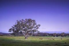 Großer ausgebreiteter einziger Baum mit Kühen im Hintergrund nach Sonnenuntergang in der blauen Stunde im australischen Ackerland Lizenzfreie Stockbilder