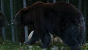 Großer Bär drei, der im Wald geht stock footage