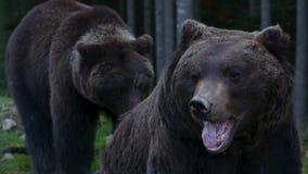 Großer Bär zwei, der im Wald geht stock footage