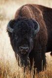 Großer Büffel Stockbild