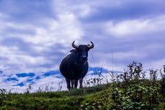 Großer Büffel auf Himmelhintergrund Lizenzfreie Stockfotos