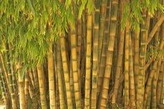Großer Bambus Lizenzfreie Stockfotos