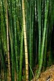 Großer Bambus Stockfotos