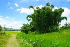 Großer Bambusbaum auf dem Reis-Gebiet Stockbilder