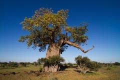 Großer Baobabbaum Lizenzfreies Stockfoto