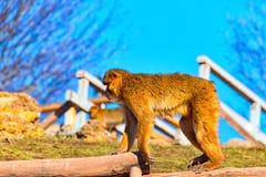 Großer Barbary-Makaken ganz allein auf der Straße Lizenzfreie Stockfotos