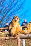 Großer Barbary-Makaken ganz allein auf der Straße I Stockfotografie