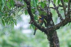 Großer Barbet Megalaima-virens Vogel Lizenzfreies Stockbild