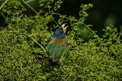 Großer Barbet Megalaima-virens Vogel Stockbilder