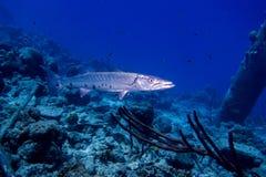 Großer Barracuda stockbilder
