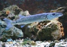 Großer Barracuda Lizenzfreie Stockbilder