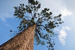 Großer Baum stockbild