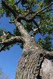 Großer Baum Lizenzfreie Stockfotos