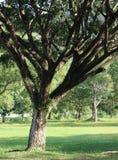 Großer Baum Stockfotos