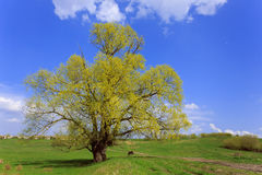 Großer Baum auf einer grünen Wiese Lizenzfreie Stockfotografie
