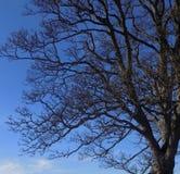 Großer Baum bei Crookham, Northumberland, England Großbritannien Lizenzfreies Stockbild