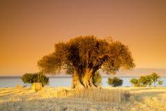 Großer Baum bei dem orange Sonnenuntergang Lizenzfreies Stockfoto