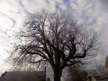 Großer Baum in Crookham Northumerland, England Großbritannien Stockfotografie