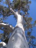 Großer Baum an den blauen Bergen Stockbilder