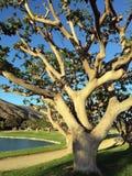 Großer Baum durch einen Teich Stockbilder