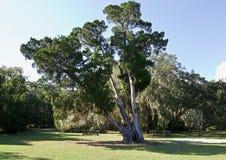 Großer Baum in Florida lizenzfreies stockfoto