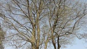 Großer Baum forestThick Stamm Freizeit, orientalisch stock video
