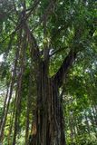 Großer Baum im Dschungel, Bali-Insel Lizenzfreies Stockbild