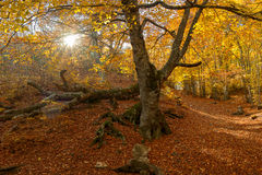 Großer Baum im Holz Stockfoto